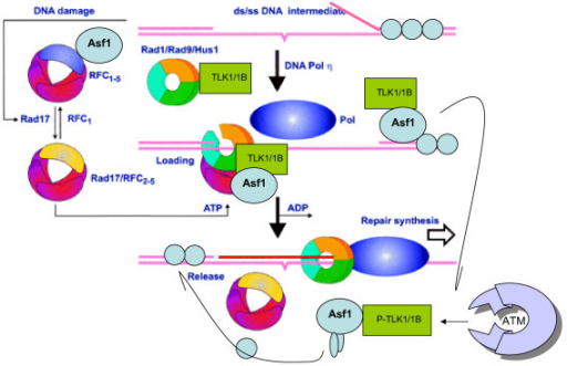 Model for the activity of TLK1/1B in translesion repair. Rad9 is known to be involved in translesion repair synthesis [34]. TLK1B helps modulating the activity and assembly of the 9-1-1 complex and promoting repair-coupled chromatin remodeling which depends on Asf1. Integration of the two activities is that TLK1/1B is first recruited to a DSB in a complex with 9-1-1 and the RFC-Rad17 clamp loader, to which Asf1 also binds [47]. At this point, TLK1/1B exchanges with Asf1 to promote nucleosomes eviction and access of the repair machinery to unencumbered DNA [11]. Faster repair can thus take place and is also followed by more rapid reassembly of chromatin, which is believed to be the real signal for resumption of the cell cycle [39]. We suggest that in DSB repair, Rad9 activity on ends-processing has an even more important role in repair [51].