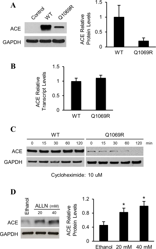 Low ACEQ1069R protein levels in HEK cells is due to degradation by the ubiquitin proteasome system.A. Analysis of ACE protein levels by western blot in HEK cells stably expressing the WT form or the mutant (Q1069R). Empty vector is used as a negative control. GAPDH was used as a loading control. Quantification of 3 independent experiments is shown on the right. Error bars represent ±SD. P<0.05. B. Relative quantitative analysis of ACE mRNA levels in HEK cells stably expressing WT or ACEQ1069R, normalized to β-actin. Error bar represents ±SD. C. Analysis of ACE protein stability by pulse-chase experiment in HEK cells. Cells were treated with CHX, for the indicated times. Protein levels were assessed by western blot analysis. Quantification of 3 independent experiments is shown. Error bars represent ±SD. P<0.05. D. Western blot analysis of ACEQ1069R HEK cells. Cells in growth medium were treated for 2h with control medium or media with increasing dosages of ALLN. On the right, quantification of three independent experiments is shown. Error bars represent ±SD. P<0.05.