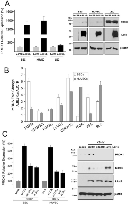 IL3Rα plays a key role in KSHV-mediated PROX1 upregulation.(A) Adenoviral expression of IL3Rα increased the expression of PROX1 mRNA and protein in BECs and HUVECs, but not in LECs based on qRT-PCR and western blot analyses. AdCTR, control adenovirus; AdIL3Rα, IL3Rα-expressing adenovirus. (B) The expression of various LEC-associated genes such as PDPN, VEGFR3, FGFR3, LYVE1, CDKN1C, ITGA1, PPL and SLC was determined by qRT-PCR in BECs or HUVECs transduced by a control (AdCTR) versus IL3Rα- (AdIL3Rα) adenovirus for 48 hours. The graph shows fold changes in expression of each gene by IL3Rα-expressing adenovirus over the control virus. (C) Inhibition of IL3Rα by siRNA or a neutralizing antibody partially abrogated the KSHV-mediated PROX1 upregulation in BECs and HUVECs, as determined by qRT-PCR (BECs and HUVECs) and western blot (BEC only) analyses. siCTR, siRNA for the firefly luciferase; siIL3Rα, siRNA for IL3Rα; anti-IL3Rα, neutralizing antibody against IL3Rα.