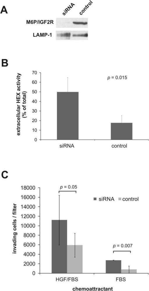 Effects of transient M6P/IGF2R knock-down on MIM-1-4 cells. (A) Transfection of MIM-1–4 cells with siRNA oligonucleotides or transfection reagent alone (control). Membrane extracts (50 μg protein) were then immunoblotted with anti-M6P/IGF2R antibodies. LAMP-1 was used as loading control. (B) Transfected cells were incubated for 24 h prior to determination of β-N-acetylhexosaminidase (HEX) activity in cell lysates and media. The secretion levels are presented as means ± SD of 4 independent experiments. (C) Invasion assays using 10% FBS ± 10 ng/ml mouse HGF as chemoattractant. Data are presented as means ± SEM of 3–6 independent experiments.