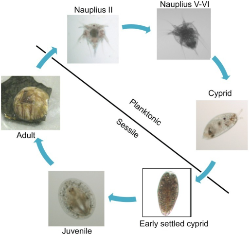 Lifecycle of B. amphitrite.Barnacle life is divided int | Open-i