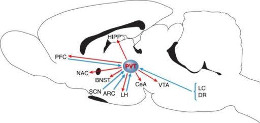 Schematic diagram representing PVT connectivity. PVT, p
