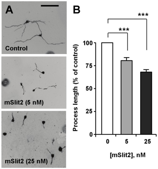 mSlit2 inhibits the extension of neurite-like processes in a concentration-dependent manner.(A, B) Differentiated CAD cells were plated at low density and cultured for 72 hr in the absence or presence of different concentrations of recombinant mSlit2, as indicated. Representative images are shown in (A), and quantification of process length is shown in (B). Bar, 200 µm. *** p<0.001.