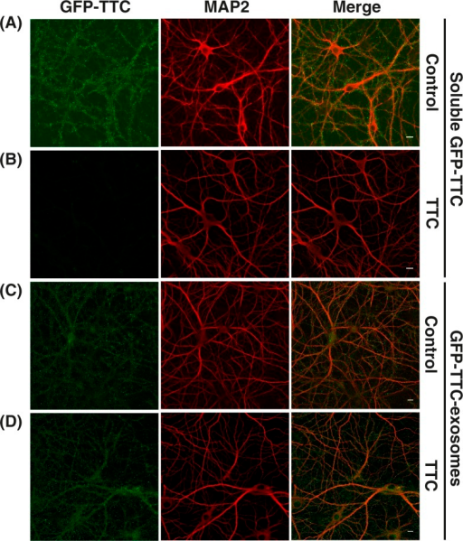 GFP–TTC exosomes do not bind to the neuronal surface because of their TTC cargo. (A, B) Incubation with TTC abolishes GFP–TTC staining of neurons: GFP–TTC was diluted to 0.36 nM in culture medium and incubated for 1 h on 16 DIV hippocampal neurons in absence (A) or in presence (B) of 100 nM TTC. In B) cells were pre-incubated for 20 min with 100 nM TTC. (C, D) TTC does not impair binding of GFP–TTC-exosomes to neurons: GFP–TTC-exosomes were incubated for 1 h on 16 DIV hippocampal neurons in absence (C) or in presence (D) of 100 nM TTC. In D) cells were pre-incubated for 20 min with 100 nM TTC. After incubation, cells were washed, fixed and immunolabelled with anti-MAP2 (red) (A, B, C and D). Scale bars: 10 µm.