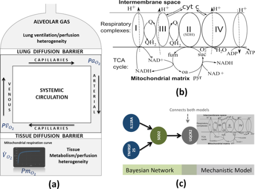 Mechanistic Models and extensions. (a) Oxygen transport and utilization model (M1). (b) Mitochondrial respiration and reactive-oxygen species generation model (M2). (3) Personalized model of M2: M2 model is personalized by a Bayesian network that predicts the values of UQCR2 (oxidative phosphorylation chain) by inflammation-associated measurements (IL11RA and TNFRSF25). All models can be simulated in the Simulation Environment [58] and the patient specific values can be obtained through a COPD Knowledge Based [7].