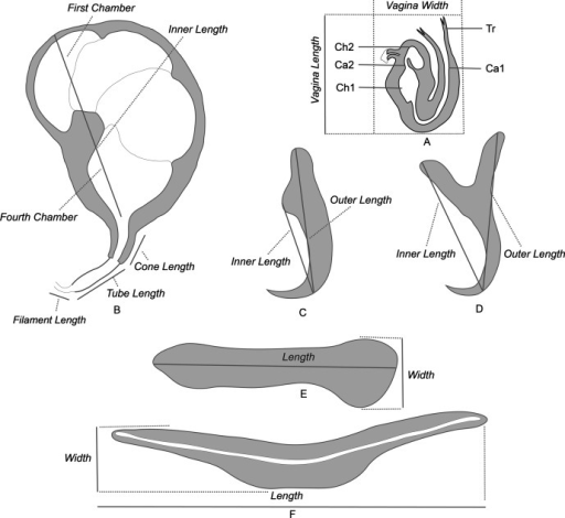 Methods of measurements and nomenclature of the sclerotised organs: A, sclerotised vagina: Tr, trumpet, Ca1, primary canal, Ch1, primary chamber, Ch2, secondary chamber, Ca2, secondary canal. B, male quadriloculate organ. C, ventral hamulus. D, dorsal hamulus. E, lateral (dorsal) bar. F, ventral bar.