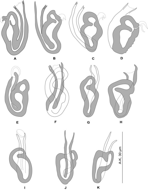 Pseudorhabdosynochus regius n. sp. from Mycteroperca rubra. Sclerotised vagina, variations according to different specimens, orientation and preparation. A-H, Berlese; I-K, carmine.