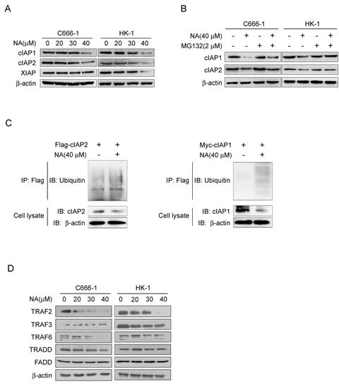 NA induces auto-ubiquitination and proteasomal degradation of cIAP1/2A. NA causes loss of cIAP1 and cIAP2. C666-1 and HK1 cells were treated with NA at the indicated dose for 8 h and cell lysates were examined by Western blotting using antibodies against cIAP1 and cIAP2. β-Actin is shown as a loading control. B. NA-induced degradation of cIAP1 and cIAP2 is dependent on proteasomal machinery. C666-1 and HK1 cells were treated with NA (40 μM) for 1 h in the absence or presence of proteasome inhibitor (2 mM MG132) and cell lysates were examined by Western blotting using antibodies against cIAP1 and cIAP2. C. NA stimulates auto-ubiquitination of c-IAP1 and cIAP2. C666-1 cells were transfected with the cIAP1-myc or cIAP2-flag plasmids for 48 h, then treated or not treated with 40 μM NA for 8 h. cIAP1 and cIAP2 were immunoprecipitated and immunoblotted. β-Actin served as a loading control. D. C666-1 and HK1 cells were exposed to increasing concentrations of NA for 8 h, then lysed and immunoblotted. β-Actin served as a loading control.