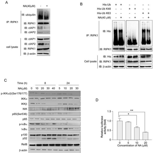 NA treatment abolishes RIPK1 ubiquitination and activates the NF-κB non-canonical pathwayA. C666-1 cells were treated or not treated with 40 μM NA for 8 h, and RIPK1 was immunoprecipitated and immunoblotted. β-Actin served as a loading control. B. Cells were transfected with the His-Ub (wt, K48, K63) plasmids for 48 h, then treated or not treated with 40 μM NA for 8 h. RIPK1 was immunoprecipitated and immunoblotted. β-Actin served as a loading control. C. The effect of increasing doses of NA (0-40 μM) treatment for 8 or 24 h on the expression level of IKKα, IKKβ and NIK and downstream molecules, p65, p100, p52 and IκBα was analyzed by immunoblotting. β-Actin served as a loading control. D. NA inhibits NF-κB reporter gene expression. C666-1 cells were transiently transfected with an NF-κB-containing plasmid for 24 h. After transfection, cells were treated with the indicated concentrations of NA for 24 h. Gene expression was assayed by measuring luciferase activity.