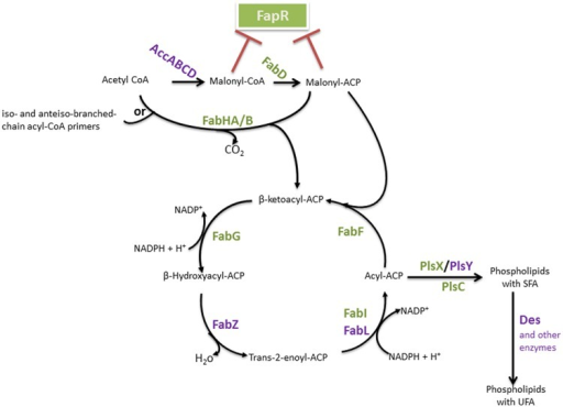 Bacillus FAS II pathway and FA integration into phospholipids. The enzymes are identified in bold. The FapR major regulator of this pathway is represented, and enzymes which encoding genes belong to the fap regulon are indicated in green. Red blunt-head lines indicate a repression. AccABCD, acetyl-CoA carboxylase ABCD; FapR, fatty acid and phospholipid biosynthesis regulator; FabD, malonyl-CoA:ACP transacylase; FabH, β-ketoacyl-ACP synthase III, FabZ, β-hydroxyacyl-ACP dehydratase, FabI, enoyl-ACP reductase I; FabL, enoyl-ACP reductase III; FabF, β-ketoacyl-ACP synthase II; PlsX, acyl-acyl-ACP-phosphate acyltransferase; PlsY, acyl-phosphate- glycerol-phosphate acyltransferase; PlsC, 1-acylglycerol-3-P acyltransferase; Des, desaturase.