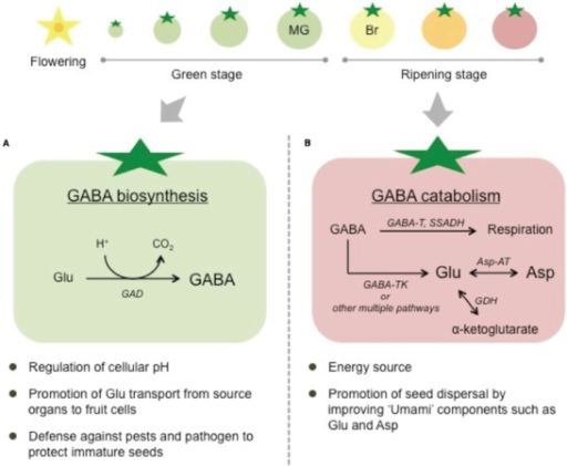 Potential roles of GABA in tomato fruits. (A) Fruits at the early developmental (green) stage when GABA is biosynthesized. (B) Fruits at the ripening stage when GABA is catabolized. MG, mature green; Br, breaker; GAD, glutamate decarboxylase; GABA-T (K), (α-ketoglutarate-dependent) GABA transaminase; SSADH, succinic semialdehyde dehydrogenase; Asp-AT, aspartate aminotransferase; Glu, glutamate; Asp, aspartate.
