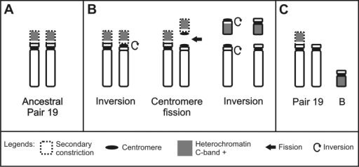 Scheme showing a possible origin of the B chromosome in Hyphessobryconeques. A Pair 19 not fissioned B The short arm of one homologous underwent fission and inversion C One homologous of pair 19 without the secondary constriction and a B chromosome formed.