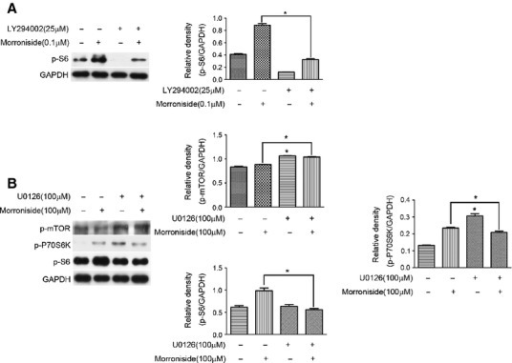 The role of S6, P70S6K and mTOR in the regulatory mechanism of AKT and ERK in morroniside-treated OA chondrocytes. (A) Cells were pre-treated with LY294002 (25 μM) for 2 hrs prior to treatment with morroniside (0.1 μM) for 24 hrs. The level of p-S6 was then detected by western blotting analysis. (B) Cells were pre-treated with U0126 (100 μM) for 2 hrs prior to treatment with morroniside (100 μM) for 24 hrs, and the levels of p-P70S6K and p-S6 were detected by western blotting analysis. The values represent the mean ± SEM of three to five independent experiments, each yielding similar results (*P < 0.05).