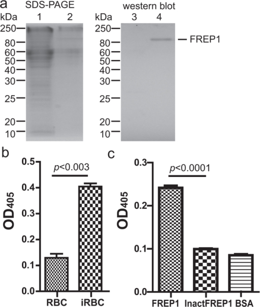 Insect cell-expressed FREP1 protein and its interaction with iRBC lysate detected by ELISA.(a) The FREP1 was expressed and secreted from High Five cells, determined by 12% SDS-PAGE (left) and western blot assay (right). This result also demonstrated that anti-FREP1 antibody could specifically recognize FREP1. Lanes: 1,3: cell lysate; 2,4: culture medium. (b) ELISA signals were significantly different between Plasmodium falciparum-infected red blood cell (iRBC) lysate and uninfected RBC lysate. The lysate of iRBC and uninfected human RBC were used to coat the ELISA plate, followed by sequential incubation with recombinant insect cell expressed FREP1 protein, 1st antibody, alkaline phosphatase-conjugated 2nd antibody. The samples were developed by the addition of 100 μL of pNPP and OD405 reading. The retained FREP1 in iRBC lysate-treated wells was significantly higher than in uninfected RBC lysate (p < 0.0002). (c) When the heat inactivated FREP1 protein (InactFREP1) replaced the functional FREP1, the binding between FREP1 and iRBC lysate disappeared (p < 0.001).