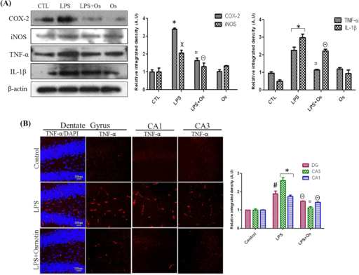 Osmotin inhibits LPS-induced COX-2, iNOS, TNF-α and IL-1β expression (A) Shown are representative western blots probed with antibodies of COX-2, iNOS, TNF-α and IL-1β in the hippocampus of adult mice. The protein bands were quantified using sigma gel software. The density values are expressed in arbitrary units as the mean ± SEM for the indicated proteins (n = 5 animals per group). (B) Showed are representative photomicrographs of immunofluorescence analysis of Tnfα positive cells in the experimental groups. Images are representative of staining obtained in sections prepared from at least 5 animals per group. Panels representing DG, CA1 and CA3 region of hippocampus showed TNF-α stained brain tissue at magnification 10× objective field, scale bar= 100 µm. Symbols for treatment groups and level of significance are mentioned in data analysis section of material methods.