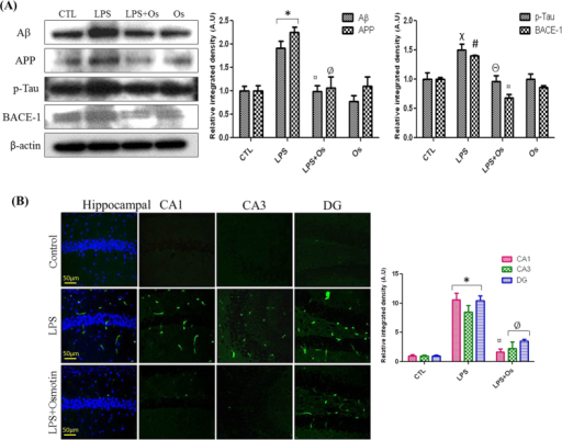 Osmotin inhibits LPS-induced protein expression of Aβ, APP, BACE-1, and p-Tau.(A) Shown are representative Western blots probed with Aβ, APP, BACE-1, and p-Tau antibodies in the hippocampus of adult mice. The density values are expressed in arbitrary units as the mean ± SEM for the indicated proteins (n = 5 animals per group). (B) Shown are representative photomicrographs of immunofluorescence analyses of Aβ-positive cells in the experimental groups. Images are representative of staining obtained in sections prepared from at least 5 animals per group. All of the panels representing the CA1, CA3, and DG regions of the hippocampus show Aβ-stained brain tissue at a magnification of 10x objective field, scale bar = 50 μm. Symbols for treatment groups and levels of significance are mentioned in the data analysis section of the Materials and Methods.