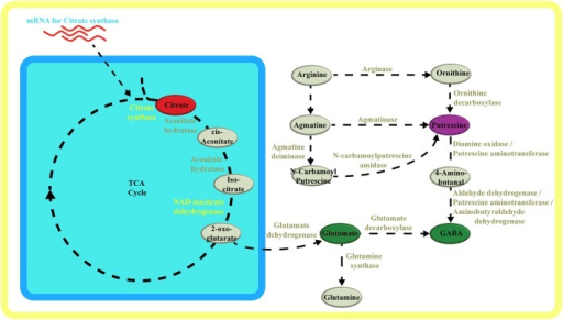 Metabolic pathway schematic overview. Schematic overview of metabolic pathways highlighting the TCA cycle in respect to glutamate, putrescine and GABA synthesis. Metabolites and enzymes are color-coded in accordance to compound classes and enzymes in the network (Figure 3, (Supplementary Figure 1). Adobe Illustrators was used to generate graphical output.