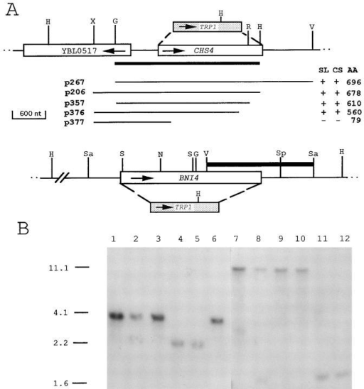 (A) Physical maps of the CHS4 and BNI4 regions and  structures of the chs4-Δ1 and bni4-Δ1 deletion alleles. Open  boxes represent open reading frames, and stippled boxes represent the TRP1 gene plus flanking sequences. Arrows indicate the  directions of transcription. Solid black bars represent the fragments used to probe DNA blots. Lines beneath the CHS4 map  represent segments of DNA assayed (in the indicated low-copy  plasmids) for complementation of the synthetic lethality of strain  DDY156 or 124Y03A (SL) and of the chitin synthesis defect of  the chs4-Δ1 strain DDY174 (CS); AA indicates the COOH-terminal Chs4p amino acid encoded by the corresponding DNA.  Restriction enzymes: G, BglII; H, HindIII; N, NsiI; R, EcoRI; S,  SalI; Sa, Sau3AI; Sp, SphI; V, EcoRV; X, XbaI. There are other  Sau3AI sites in the BNI4 region; those indicated represent the  ends of the insert in plasmid p356 (see text). (B) DNA–DNA  blot-hybridization analyses of chs4-Δ1 and bni4-Δ1 strains. Genomic DNAs were digested with HindIII. Lanes 1–6 were probed  with a 2.9-kb BglII–HindIII fragment that contains most of CHS4  and some upstream DNA (see A). Lanes 7–12 were probed with  a 2-kb EcoRV fragment that contains a portion of BNI4 and  some downstream DNA (see A) together with a portion of the  tetR gene of YEp13. Lanes 1 and 7, YEF473 (wild-type); lanes 2  and 8, DDY176 (chs4-Δ1/CHS4 bni4-Δ1/BNI4); lanes 3–6 and 9–12,  the four segregants from one tetratype tetrad from DDY176.  Fragments of the predicted sizes were visualized in all lanes (note  the presence of a HindIII site in TRP1); their molecular weights  are indicated in kb.