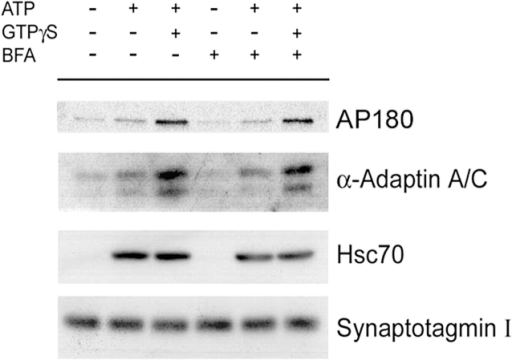 Effect of brefeldin A on clathrin/AP-2 recruitment. Clathrin/AP-2 recruitment was performed as described in Fig. 1 in the presence or absence of ATP/GTPγS and brefeldin A (BFA). Samples were analyzed by quantitative Western blot analysis using antisera against α-adaptin, AP180, synaptotagmin I as a membrane marker, and Hsc70 as a control.