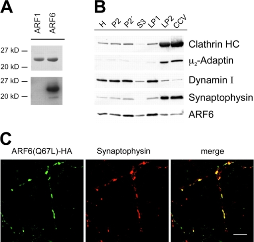 ARF6 is enriched in synaptic plasma membrane fractions. (A) Polyclonal anti-ARF6 antibodies specifically recognize ARF6, but not ARF1. Top, Ponceau-stained nitrocellulose membrane. 3 μg ARF protein was loaded per lane. Bottom, immunoblot analysis using anti-ARF6 antibodies. (B) Subcellular fractionation of pig brain homogenate according to Maycox et al. (1992). 15 μg protein was loaded per lane and analyzed by immunoblotting against clathrin heavy chain (HC), μ2-adaptin, dynamin I, synaptophysin, and ARF6. H, brain homogenate; P2, crude synaptosomes; P2′, washed synaptosomes; S3, cytosol; LP1, 20,000-g pellet after lysis of synaptosomes; LP2, 55,000-g pellet; CCV, purified clathrin-coated vesicles. (C) Localization of ARF6(Q67L) in transfected cortical neurons. Neurons at 11 days in vitro were fixed and analyzed for the distribution of HA-tagged ARF6(Q67L) and the presynaptic marker protein synaptophysin using a Leica confocal laser microscope. Bar, 10 μm. Note that synaptophysin-positive synapses devoid of ARF6(Q67L) may originate from nontransfected neurons.