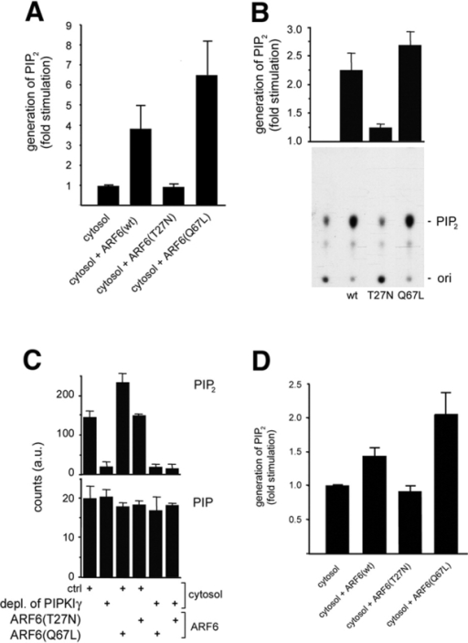 ARF6 directly stimulates the activity of endogenous or recombinant PIPKIγ. (A) Liposomes containing phosphatidylinositol 4-phosphate (6%, wt/wt) as a substrate were incubated for 10 min at 37°C with brain cytosol and recombinant myristoylated ARF6 mutants (200 nM) as indicated in the presence of neomycin, GTP, and γ[32P]ATP. Lipids were extracted and separated by HPTLC. Data represent mean values (± SD) from four independent experiments. Values were normalized to the amount of PIP2 generated in the absence of ARF6 proteins (fold stimulation). (B) 4 ng recombinant PIPKIγ was pre-incubated for 20 min at 4°C with recombinant myristoylated ARF6 proteins, GTP, and total brain liposomes. Reactions were started by addition of γ[32P]ATP, and after a 7-min incubation (37°C), lipid products were extracted, separated by TLC as described previously (Wenk et al., 2001), analyzed by autoradiography (see bottom for a typical experiment) and quantified (Phosphor- Imager). The top shows the quantification of three independent experiments (mean ± SD); the data presented are normalized to the activity of PIPKIγ in the absence of exogenously added ARF6 proteins (fold stimulation). (C) 100 μg rat brain cytosol that had either been mock-depleted (ctrl) or depleted of PIPKIγ was pre-incubated (20 min at 4°C) with myristoylated ARF6 proteins, GTP, and total brain liposomes. The reaction (7 min at 37°C) was started by addition of γ[32P]ATP. Samples were analyzed as described above. Formation of PIP2 and PIP is depicted as mean ± SD (n = 3). (D) Brain cytosol was pre-incubated (2 min at 37°C) with GTP, γ[32P]ATP, neomycin, and recombinant ARF6 protein as indicated. Reactions (15 min at 37°C) were started by addition of LP2 membranes. Samples were analyzed as described under A. Data are depicted as mean (± SD) from four independent experiments.