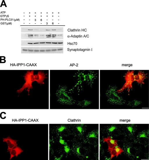 Effects of PIP2 masking or degradation on clathrin/AP-2–coated pit assembly. (A) Recombinant human PHPLCδ1 inhibits ATP/GTPγS-induced membrane recruitment of clathrin/AP-2 coat components. Clathrin/AP-2 recruitment onto presynaptic membranes was performed as described in Fig. 1 in the presence or absence of ATP/GTPγS, purified PHPLCδ1, or BSA. Samples were analyzed by quantitative Western blotting using antisera against clathrin heavy chain (HC), α-adaptin, synaptotagmin I as a membrane marker, and Hsc70 as a control. (B and C) Overexpression of membrane-targeted HA-tagged inositol 5-phosphate phosphatase domain of synaptojanin 1 (HA-IPP1-CAAX) mislocalizes clathrin and AP-2. Cos7 cells expressing HA-IPP1-CAAX were fixed 24 h after transfection and analyzed for the distribution of AP-2 (B) or clathrin (C) by immunofluorescence microscopy. Bar, 20 μm.