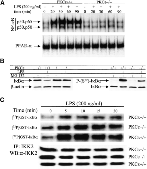 The activation of NF-κB and IKK2 are attenuated in LPS-stimulated macrophages from PKCε−/− mice. (A) Thioglycollate-elicited peritoneal macrophages were activated with 200 ng/ml of LPS, and at the indicated times cytosolic and nuclear protein extracts were prepared. NF-κB activity was determined by EMSA after the binding of nuclear proteins to the distal κB sequence of the murine NOS-2 promoter. The nature of the retained bands was determined by supershift assays (not shown). Normalization was accomplished using the binding of proteins to the PPARα site of acyl CoA oxidase. (B) IκBα levels were determined by Western blot, and the amount of phosphorylated (S32)IκBα was evaluated in cells treated with MG 132 (20 μM), and using a specific anti-phospho(S32)-IκBα Ab. (C) Macrophages were elicited and treated as above, and at the indicated time points IKK2 was immunoprecipitated from the cytosolic extracts. IKK2 activity was assayed using GST-IκBα (amino acids 1–54) and [γ-32P]ATP as substrates. Results show the incorporation of [32P]phosphate into the substrate, with an aliquot of IKK2 assayed by Western blot to evaluate the level of enzyme.