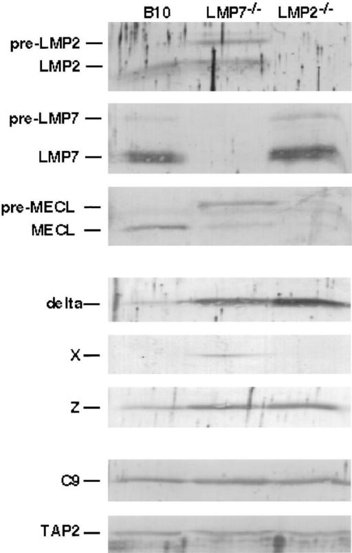 Relative levels of proteasome subunits in spleen cells from  B10 (wild type), LMP7−/−, and LMP2−/− mice. Lysates of mouse spleen  Con A–stimulated T cell blasts (1.5 × 106/lane) were subjected to SDS-PAGE and specific proteasome subunits were visualized by immunoblotting. The C9 and TAP2 immunoblots demonstrate the relative amounts  of proteasomes and total protein present in each sample.