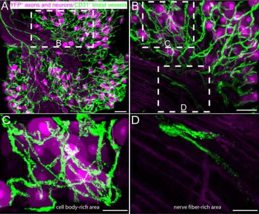 The density of CD31+ vessels is site dependent within the mouse lumbar dorsal root ganglia (DRG). Representative 3D reconstructed confocal images of L4 DRG whole mount preparation from thy1-YFP transgenic mice where the cell body and axons of sensory neurons constitutively express yellow fluorescent protein (YFP, pseudocolored violet). In contrast, the endothelial cells were immunohistochemically labeled with a marker of platelet endothelial cell adhesion molecule, CD31+ (green) (A, B). Note that a dense vascular plexus surrounds sensory neuron cell bodies within cell body-rich areas (C), whereas the nerve fiber-rich areas have a lower density of CD31+ vascular labeling (D). The confocal image in A-D were acquired at 0.5 μm z-plane intervals and the total z-plane for (A) 90 μm, (B) 60 μm and (C&D) 15 μm. Scale bar A-D = 50 μm.