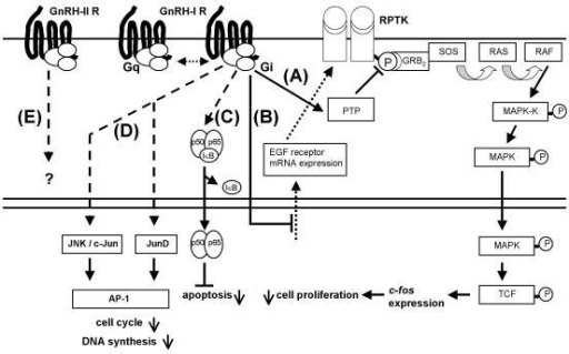 GnRH-I and GnRH-II signaling in human gynecological cancer cells: A) GnRH-I activates a phosphotyrosine phosphatase (PTP) inhibiting the mitogenic signal transduction of growth factor receptors resulting in downregulation of cell proliferation. B) GnRH-I downregulates epidermal growth factor (EGF) receptor mRNA expression. C) Activated GnRH-I receptor induces nucleus factor κB (NFκB) activation and nuclear translocation of activated NFκB. Activated NFκB now couples to κB DNA binding sites and induces expression of anti-apoptotic mechanisms. D) GnRH-I activates c-Jun N-terminal kinase (JNK), induces JunD-DNA binding and stimulates activator protein (AP-1) activity, resulting in reduced proliferation as indicated by increased G0/1 phase of cell cycle and decreased DNA synthesis. E) Unknown signal transduction of a putative human GnRH-II receptor. In human gynecological cancer cells GnRH-I analogs mediate antiproliferative actions via inhibition of growth factor-induced mitogenic signal transduction. In addition GnRH-I induces growth factor receptor downregulation. GnRH-I protects the cancer cells from apoptosis via activation of NFκB, stimulates AP-1 activity and extends cell cycle. PPTK, receptor protein tyrosine kinase; GRB2, adaptor protein; SOS, guanine nucleotide exchange factor; RAS, small GTPase; RAF, a protein-serine/threonine kinase; MAPK-K, mitogen activated kinase kinase; MAPK, mitogen activated kinase; TCF, transcription factor; IκB, inhibitory κB; Gq, G-protein αq; Gi, G-protein αi; p50, p65, NFκB subunits.