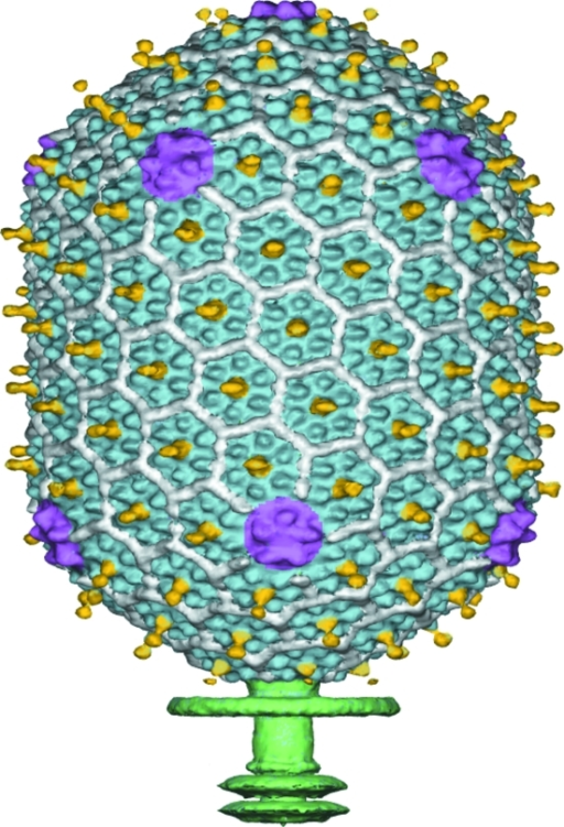 Cryo-EM reconstruction of the head capsid of bacteriophage T4, based on fivefold symmetry averaging. The major capsid protein (gp23, in blue) forms hexamers. The small outer capsid protein (soc, in white) binds between gp23 hexamers. The highly antigenic outer capsid protein (hoc, in yellow) binds at the center of gp23 hexamers. Pentamers of the special vertex protein gp24 (purple) are at the icosahedral vertices. The tail (green) is smeared as it has sixfold symmetry, not the fivefold symmetry used for averaging.
