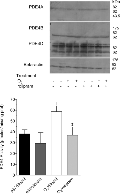 PDE4 activity in whole lung homogenates of rat pups exposed to hyperoxia and treated or not with rolipram.Rat pups exposed to normoxia or hyperoxia from birth and treated with rolipram, (n = 5/group), and their littermate controls treated with diluent alone (n = 6/group) were killed on day 6 of life. Whole lungs were dissected out and homogenized as described in Materials and Methods, and cAMP-PDE activity was measured in the absence or the presence of 10 µM rolipram. Data are expressed as mean±sem. † Significantly different from the air-rolipram group; ‡ significant difference between oxygen-diluent and oxygen-rolipram groups. Upper insert: Western blot of PDE4 proteins in whole lung of rat pups exposed to normoxia or hyperoxia from birth, and either treated with rolipram (+) or receiving the diluent alone (−); pups were killed on day 6 of life. Aliquots of lung homogenates with equivalent protein amount were subjected to 8% SDS-PAGE and immunoblotted with specific anti-PDE4A, PDE4B or PDE4D antibodies. This immunoblot is representative of 3 separate experiments with two different animals/group/experiment, 6 different animals/group. A loading control was performed with a specific anti-beta actin antibody.