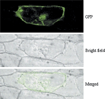 Localization of IPG-1-GFP fusion in onion epidermal cell. Plant cell wall and membrane were separated by treatment with 20% sugar.