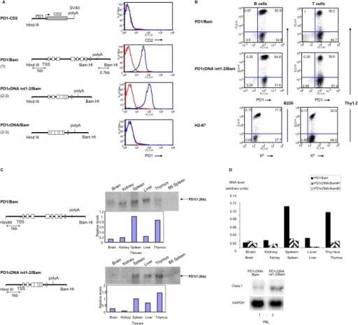 Sequences downstream of the MHC I promoter are required for proper surface expression on PBL in-vivo.(A) FACS profiles (right panels) of PD1 or CD2 surface expression on PBL of mice carrying the transgenes with the 1 Kb PD1 promoter ligated to the huCD2 reporter (PD1-CD2); full length PD1 (PD1/Bam) transgene or PD1 cDNA with the 3′ Bam HI fragment (PD1cDNA/Bam), cDNA containing introns 1 and 2 with a 3′ Bam HI fragment (PD1cDNAint1-2/Bam). (diagramed on left panels). PBL were stained with either anti-PD1 or anti-CD2 antibody, as described in Materials and Methods. Transgene copy numbers are indicated in parenthesis. Red curves represent staining of negative control C57/BL6 mice with the relevant antibody. Profiles are representative of all of the founders of each of the transgenic lines. (B) MHC class I expression patterns on B and T cells. Surface expression of MHC class I on B and T cells derived from mice transgenic for PD1/Bam and PD1cDNAint1-2/Bam was assessed by dual staining with anti-PD1 antibody and B220 (B cells) or Thy1.2 (T cells). The pattern of endogenous mouse MHC class I, Kb, expression on the PBL from PD1/Bam mice was determined by staining with an anti- Kb antibody. The Kb and PD1 antibodies do not cross-react (data not shown). The results are representative of multiple independent experiments. (C) PD1 RNA expression in PD1cDNAint1-2/Bam mice parallels that of PD1/Bam in different tissues. PD1 RNA levels in tissues of transgenic mice were determined by both Northern analysis using a probe that spans exons 2–3 and that only minimally cross-hybridizes with endogenous class I sequences. Relative levels of expression were quantitated by normalizing with an 18S RNA control probe (graphs below northern). This experiment is representative of three independent experiments. qPCR analyses are shown in Figure S1. (D) PD1 expression in PD1cDNA/Bam transgenic mice is aberrant. RNA from PBL (right panel) or various tissues was probed with a class I probe, by Northern as in (C) and normalized with GAPDH. The relative levels of expression in two individual PD1cDNA/Bam mice are shown in the left panel.