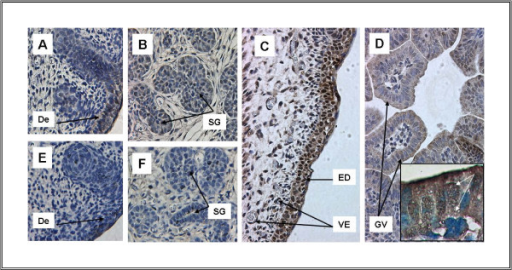 Expression of TFII-I in multiple tissues at E15 and E16. A. Skin and hair follicles, B. Submandibular gland, C. Dermis (E16), D. Gut Vill (E16), E-F. Skin and hair follicles and submandibular gland lacking immunoreactivity after pre-incubation of antibody with peptide. TFII-I expression is present in multiple tissues at ED15 and the immunoreactivity is completely competed by cognate peptide. TFII-I is expressed in skin and hair follicles (A) and in submandibular glands (B). Dermis demonstrates extensive immunoreactivity both in the superficial dermal layers and in underlying mesenchyme and vessels. TFII-I immunoreactivity is prominent in nucleus as well as cytoplasm in the dermis. D. Gut villi show both cytoplasmic and nuclear immunoreactivity particularly at the apical surface. Again, immunoreactivity is competed completely by pre-incubation of the antibody with peptide (E-F). Inset in Figure 5D shows nuclear and cytoplasmic locatization of TFII-I under 100 × magnification (Zeiss Axioscop, obj. Apochromat 100 ×). White arrows indicate positive reaction of specific antibody with TFII-I. Abbr.: De-Dermis, ED - Epidermis, GV-Gut Villi, SG-Submandibular Gland, VE - Vascular Endothelium