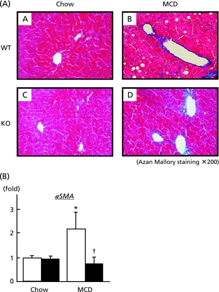 Influence of Bach1−/− ablation on hepatic fibrogenesis. (A) Liver sections from wild type (A and B) and Bach1−/− mice (C and D) fed either regular chow (left panels) or MCD diet (right panels) were processed for Azan-Mallory staining. (original magnification 200×). (B) Following 4 w of either regular chow or MCD diet, hepatic mRNA expressions of αSMA were quantified (n = 5/each group) by quantitative real-time PCR. *p<0.05, regular chow vs MCD diet. †p<0.05, wild type (open bar) vs Bach1−/− mice (closed bar).