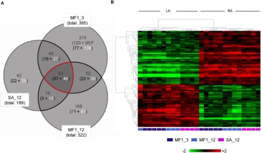 Results of the mRNA expression array experiments.A Venn diagram showing the overlap of transcripts (grey numbers) that are significantly different between LA and RA (Fold-Change>1.5, P<0.05) in 3-month-old MF1 mice (MF1_3), 12-month-old MF1 mice (MF1-12), and 12-month-old Swiss-Agouti mice (SA_12). The number of transcripts with increased level of expression in the left atrium (black) or right atrium (white) are given in brackets. The overlapping 83 transcripts in the centre of the diagram refer to 77 single genes (see Tables 1 and 2). B Two-dimensional hierarchical clustering of relative change in gene expression using the 83 transcripts common to mice of all strains and age groups.