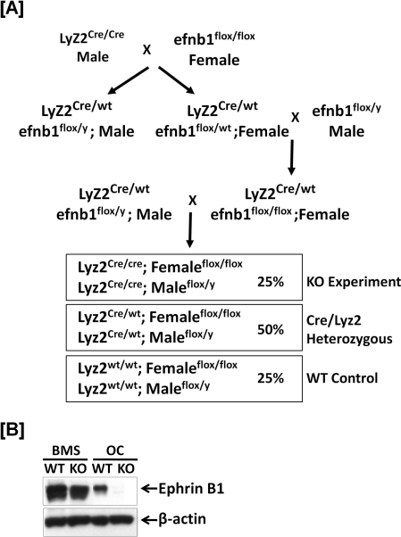 Conditional ephrin B1 KO is myeloid-lineage specific.[A]: Schematic diagram of generation of ephrin B1 conditional KO and control WT. Mice with ephrin B1 deletion in myeloid lineage cells are generated by crossing ephrin B1 loxp mice with Lyz2-Cre knock-in mice. [B]: Ephrin B1 is not expressed in osteoclasts from the myeloid-specific conditional KO mice. Splenocytes derived from WT and KO mice were cultured in the presence of 20 ng/ml of M-CSF and 30 ng/ml of RANKL for 3 days. Bone marrow stromal (BMS) cells isolated from the long bones were also cultured in α-MEM medium containing 10% FBS for 6 days. Osteoclasts (OC) and BMS cells were harvested, respectively, and the cellular proteins were extracted for measurement of ephrin B1 protein, by Western blot.