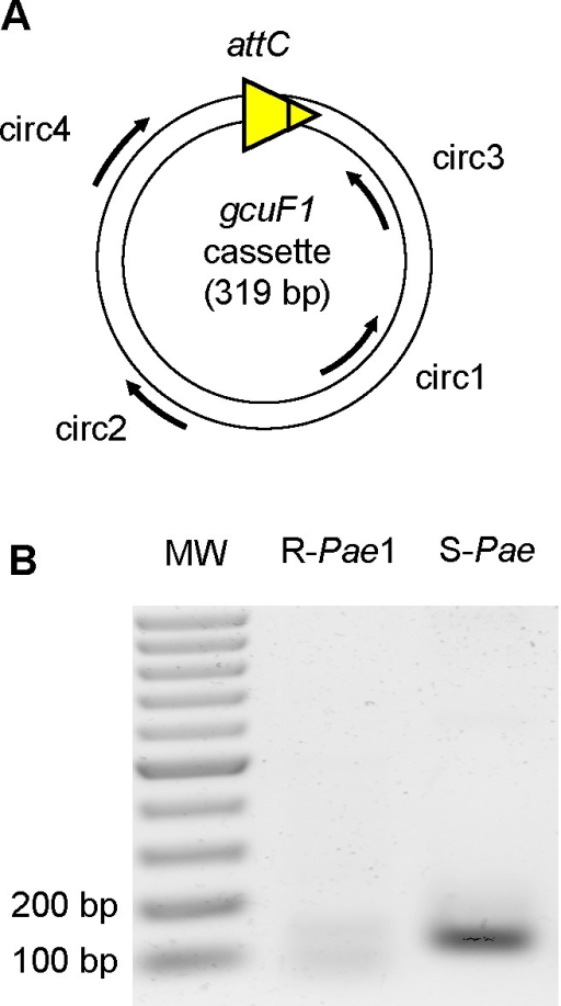 gcuF1 gene cassette exists in free circular form.(A) Position and direction of primers used for amplification (Table S2) are indicated by arrows. (B) Visualization of the PCR products on an agarose gel (resulted from the nested PCR with primers circ3 and circ4). PCRs were performed using total DNA from isolates R-Pae1 (without gcuF1, taken as a negative control) and S-Pae (with gcuF1) as templates. MW: Molecular weight.