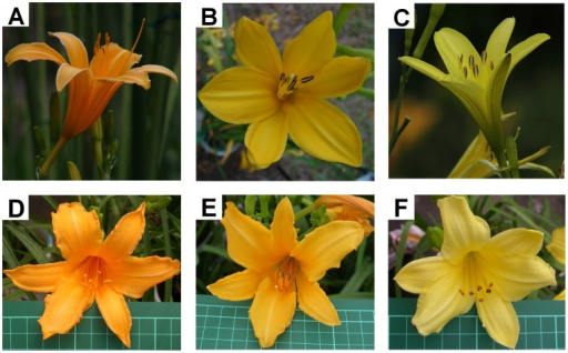 Flowers of H. fulva (A), F1 hybrid (B), H. citrina (C) and F2 hybrids (D-F).