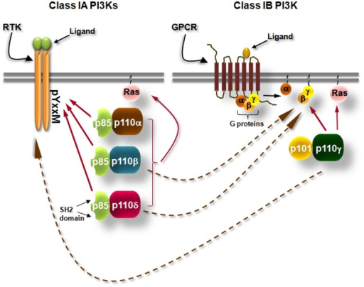 Simplified scheme showing the differential activation of class IA and class IB PI3K isoforms. Class IA PI3Ks are heterodimers consisting of a 110 kDa catalytic subunit (p110α, p110β, and p110δ) in complex with a p85 regulatory subunit, of which five isoforms exist. Class IA PI3Ks are activated by growth factor and cytokine receptors or adaptor proteins (e.g., CD19/BCAP in B cells). Binding of the ligand to its receptor leads to receptor dimerization and auto-phosphorylation of tyrosines (Y) which are located in pYxxM motifs. The p85 regulatory subunits have Src-homology 2 (SH2) domains which bind to phosphorylated tyrosines in YxxM motifs recruiting thus the class IA PI3Ks to the plasma membrane where their lipid substrates are located. Class IB PI3K consists of the p110γ isoform which binds to p101 or p84 regulatory subunits. Class IB PI3K is activated by G protein-coupled receptors (GPCRs). Binding of the ligand (e.g., a chemokine) to its cognate GPCR induces the dissociation of heterotrimeric G-proteins and the Gβγ subunits interact with the class IB PI3K. Arrows with dashed lines represent activation of p110β and p110δ downstream of GPCRs and activation of p110γ downstream of tyrosine kinases by currently unknown mechanisms.