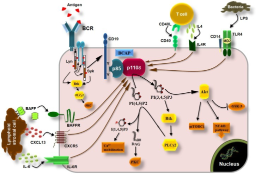 p110δ PI3K pathway in B cells. Engagement of BCRs by antigen induces the phosphorylation of ITAMs in the cytoplasmic tails of Ig-α and Ig-β by Lyn leading to recruitment and activation of Syk via ITAMs and to initiation of downstream signaling cascade. Tyrosine phosphorylation of the co-receptor CD19 and BCAP recruits p110δ PI3K through SH2 interactions leading to production of PI(3,4,5)P3 which recruits PH-domain containing proteins such as Akt, Btk, and PLCγ2. Akt controls the activity of multiple signaling molecules and pathways such as the mTORC1, GSK-3, and the NF-kB pathway. Btk phosphorylates and activates PLCγ2 which then catalyzes the hydrolysis of PI(4,5)P2 yielding I(3,4,5)P3 and diacylglycerol (DAG). I(3,4,5)P3 initiates Ca2+ mobilization and DAG induces the activation of protein kinase C (PKC) isoforms. The p110δ PI3K also functions downstream of the cytokine receptors BAFFR and IL6R, which are activated by BAFF and IL-6, respectively, derived from lymphoid stromal cells, and downstream of the IL4R which is activated by IL-4 derived from T cells. Chemokine receptors (CXCR5) and co-stimulatory receptors (CD40, TLRs) also induce the activation of p110δ PI3K in B cells.