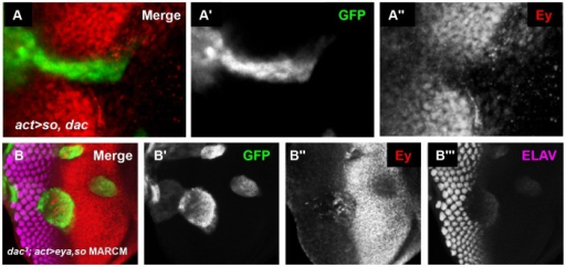 So and Eya cooperate with Dac in vivo to complete Ey repression.(A) UAS-so and UAS-dac7c4 were co-overexpressed anterior to the furrow. (A′) Grayscale image of GFP expression in A; GFP marks the clone. (A″) Grayscale image of Ey expression in A. (B) MARCM clones that are  for dac while overexpressing so and eya. (B′) Grayscale image of GFP expression in B; GFP marks the clone. (B″) Grayscale image of Ey expression in B. (B″) Grayscale image of ELAV expression in B shows differentiating photoreceptors.