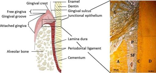 Structure of the periodontium. A, alveolar bone; C, cem | Open-i