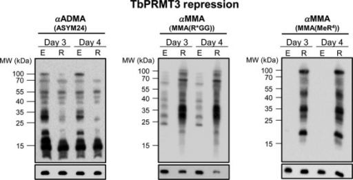 Cells repressed for TbPRMT3 display the same methyl landscape as cells repressed for TbPRMT1. Trypanosoma brucei procyclic cells either expressing (E) or repressed (R) for TbPRMT3 were lysed in SDS-PAGE sample buffer and resolved via 12.5% SDS-PAGE. Each lane contains 1 × 107 cell equivalents. Western blot analysis was carried out using three different antimethylarginine antibodies: ASYM24 detects ADMA, and MMA(R*GG) and MMA(MeR4) detect MMA. The p22 load control is shown under each blot.