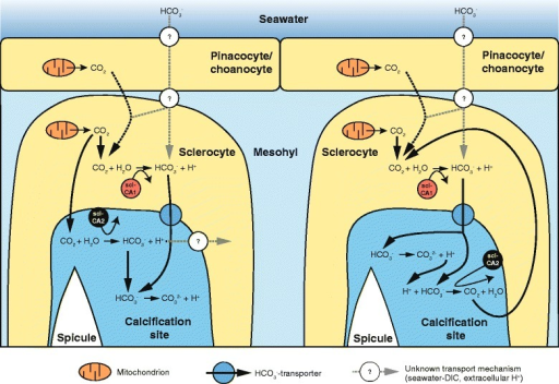 Two scenarios for the potential function of scl-CA1 and scl-CA2 in spicule formation. In both, scl-CA1 catalyses the formation of mainly metabolic CO2 to HCO3− within the sclerocytes, and then transports it to the extracellular calcification site by a biacrbonate transporter. Here, scl-CA2 could also produce HCO3− from CO2 diffused into the extracellular space (left). Alternatively, scl-CA2 could catalyse the reverse reaction, in order to remove protons that were formed by the reaction of HCO3− to carbonate. The CO2 could then diffuse into the sclerocyte and again serve as substrate for sclCA1. In addtion to metabolic CO2, DIC (in form of HCO3−) might be taken up from the seawater, which could involve the activity of another CA, as had been suggested for corals [11]. The DIC transport form and mechanisms within the sponge tissue are yet unknown.