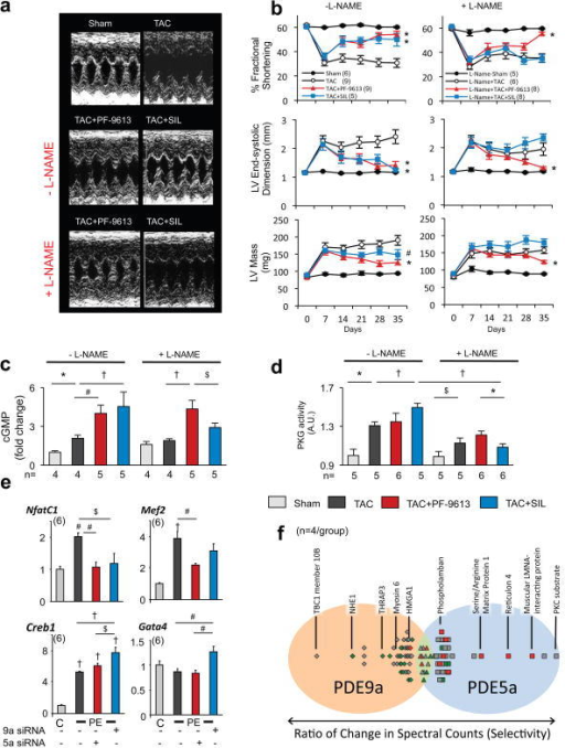 Chronic PDE9A-inhibition reverses pre-established hypertrophy/dysfunction in NOS-independent mannera, M-mode echocardiograms from mice ±L-NAME exposed to 5-wk TAC±PDE5 or PDE9-inhibition starting 1-week after TAC. b, PF-9613 and SIL reversed cardiac dysfunction from TAC in L-NAME(−), but only PF-9613 was effective in L-NAME(+) mice; *-p<0.01;#-p<0.05-vs-TAC. c, cyclic-GMP levels and d, In vitro PKG activity measured in the same experiments. e, Transcription factor activation in RNCMs stimulated by PE±gene-silencing of PDE5A or PDE9A; (Symbols for panels c–e; *p<0.005,#-p<0.01,†p<0.001,$-p<0.05. f, Differential phosphorylation of target proteins following PDE9A versus PDE5A inhibition. L-NAME co-treatment reversed PDE5A-selective changes (red) far more than PDE9A-selective changes.