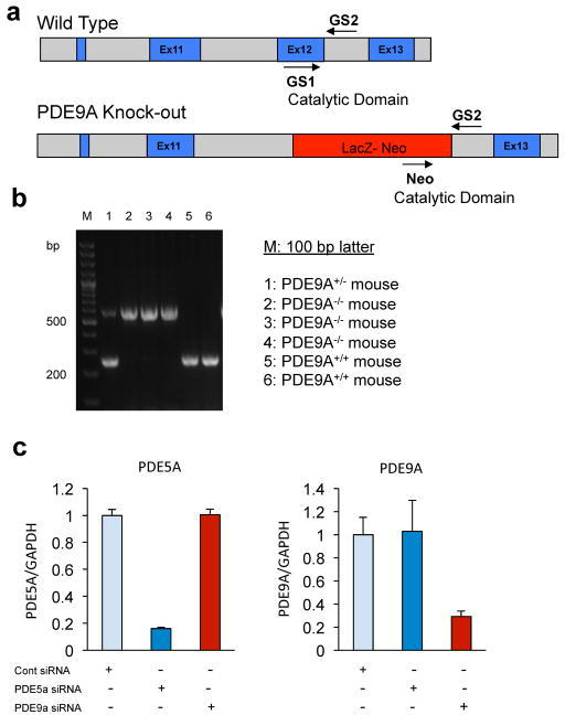 Development of PDE9A Knockout (PDE9A−/−), and specificity of PDE5A or PDE9A siRNAa, PDE9A knockout (PDE9A−/−) mice were developed by replacing of Exon-12 region with Lac-Z-neomycin in the catalytic domain of c-terminal in PDE9a gene. The genotyping was performed using specific primers designed between Exon-11 and -13 including neomycin as following; GS1 (5′-cacagatgatgtacagtatggtctgg-3′), GS2 (5′-tgcagtcatcaggaccaagatgtcc-3′) and Neo (5′-gacgagttcttctgaggggatcgatc-3′). b, The typical genotyping pattern of PDE9A−/− mice was shown on 2% agarose gel (250 bp for WT and 500 bp for PDE9A−/− mice). c, Selective gene silencing using siRNA targeting PDE5A or PDE9A. PCR confirms specificity and substantial gene knockdown achieved in cell culture (n=6/group).