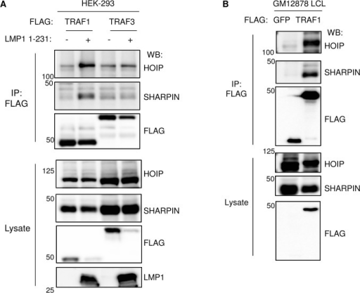 TRAF1 and LUBAC associate in LMP1-stimulated cells.A) 293 cells were transfected with FLAG-tagged TRAF1 or TRAF3, and LMP1 1–231 expression was induced 24 hours, as indicated. FLAG immuno-purified complexes and lysates were analyzed by western blot (WB), as indicated. B) FLAG immuno-purified complexes and lysates were immuno-purified GM12878 LCLs with stable FLAG-GFP or FLAG-TRAF1 expression, and analyzed by western blot, as indicated. A-B are representative of three independent experiments.