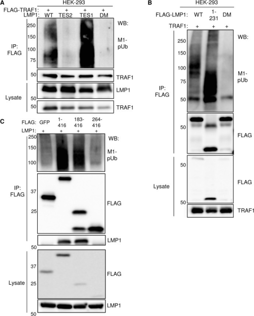 Analysis of LMP1 and TRAF1 domains important for M1-pUb attachment.A) 293 cells were co-transfected with FLAG-TRAF1, and with either wildtype LMP1 (WT), an LMP1 mutant that signal only from the TES2 domain (TES2), an LMP1 mutant that signals only from the TES1 domain (TES1), or an LMP1 double mutant (DM) that does not signal from either TES1 or TES2. Immuno-purified FLAG-TRAF1 complexes and whole cell lysates were blotted, as indicated. B) 293 cells were transfected with FLAG-tagged WT LMP1, LMP1 1–231, or LMP1 DM and untagged TRAF1. Purified FLAG complexes or lysates were blotted as indicated. C) 293 cells were co-transfected with untagged LMP1 and FLAG-tagged GFP, TRAF1 1–416, TRAF1 183–416, or TRAF1 264–416. FLAG complexes or lysates were blotted, as indicated. A-C are representative of triplicate experiments.